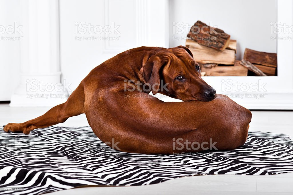 Flexible Rhodesian Ridgeback dog turning round showing ridge stock photo