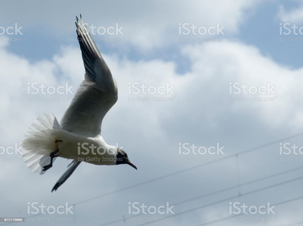 fliegende Möwe stock photo