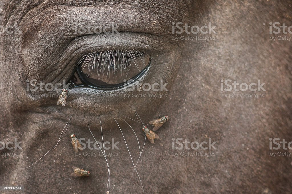 Flies attack eye of the horse stock photo
