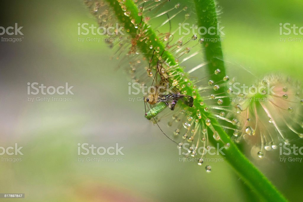 flies catched by sundew stock photo