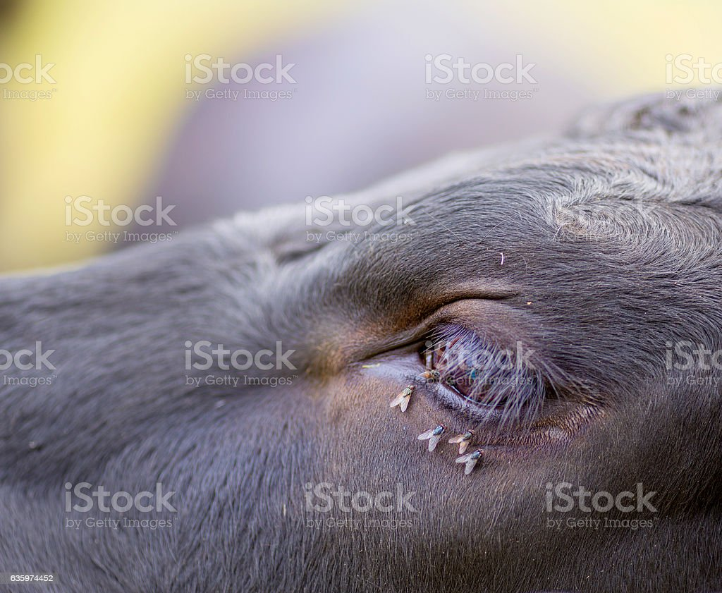 Flies drinking from a cows tear ducts stock photo