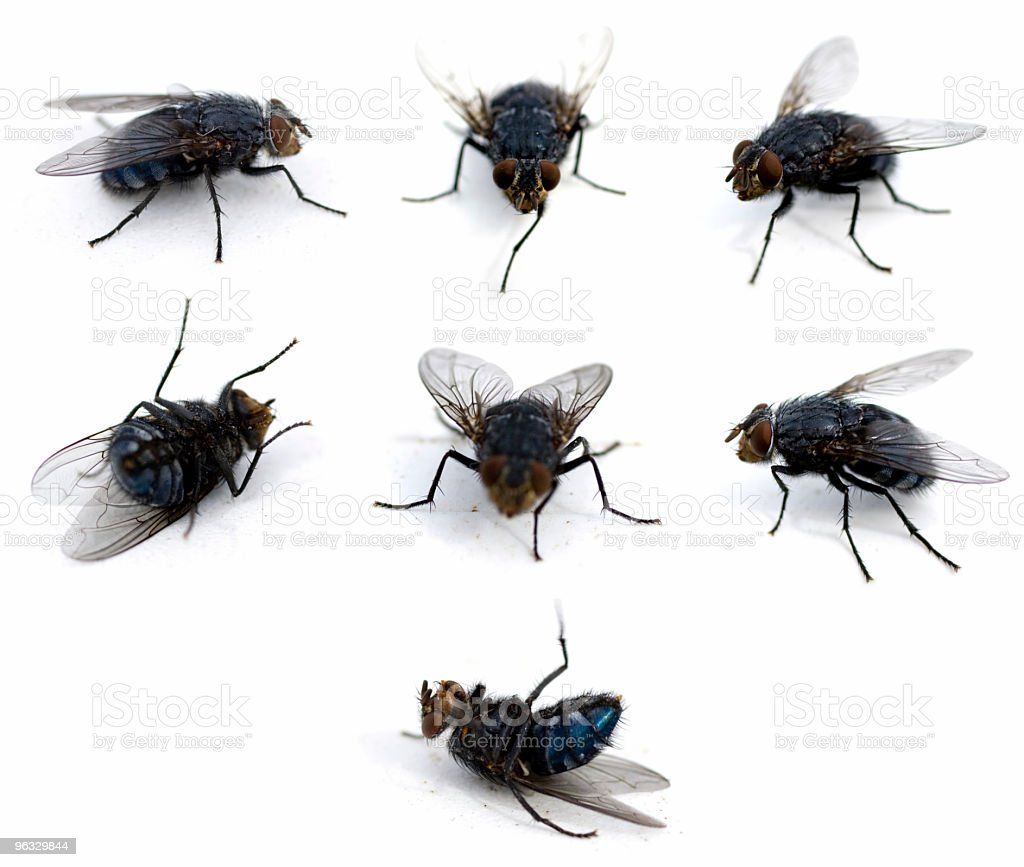 Flies isolated on white royalty-free stock photo