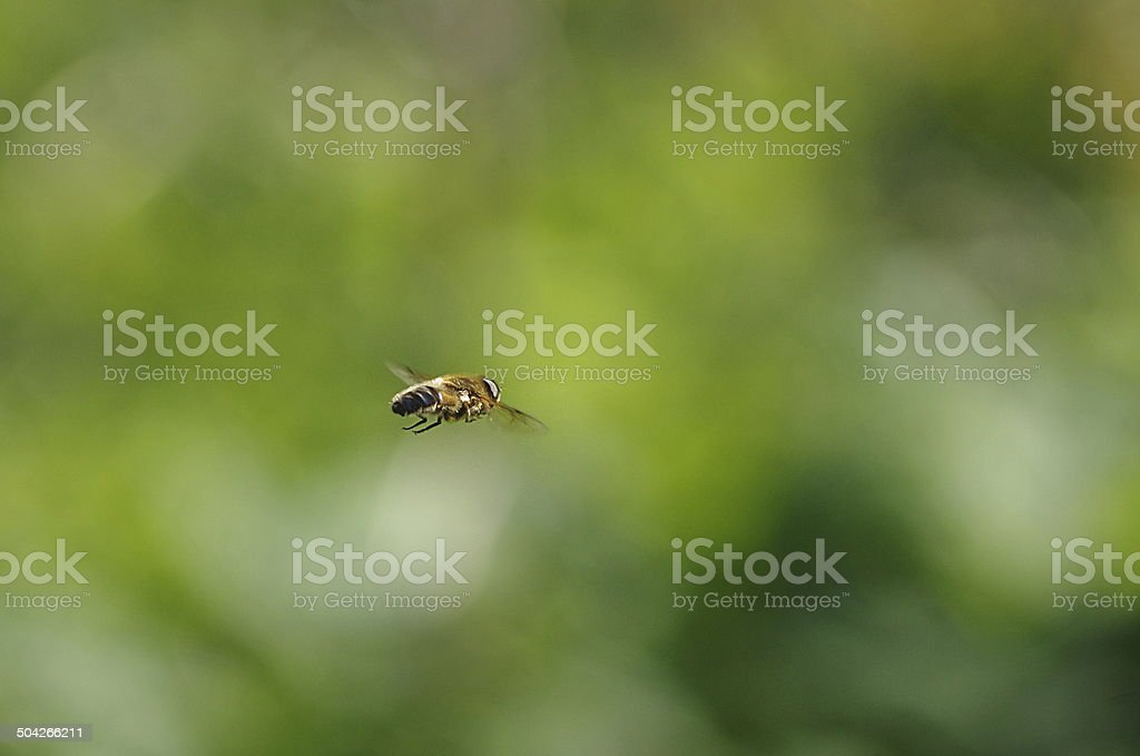 flight fly insect stock photo