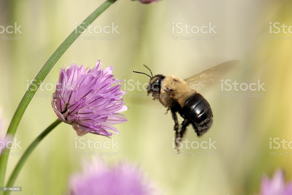 Flight of a Bumble Bee stock photo