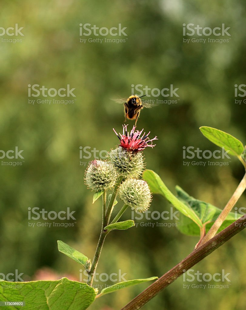Flight of a bumblebee royalty-free stock photo