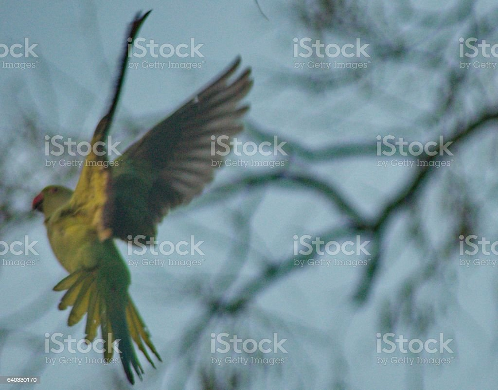 Flight of a Green Parrot stock photo
