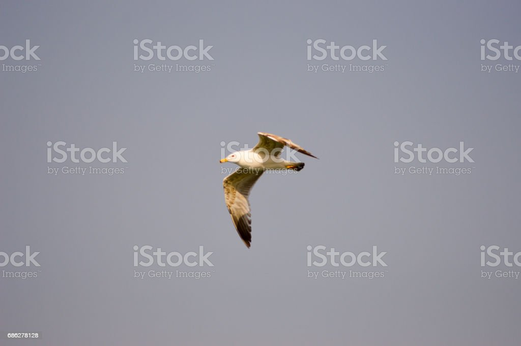 Flight of a seagul stock photo