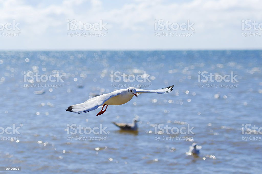 flight of a white seagull over sea. Blue sky background royalty-free stock photo