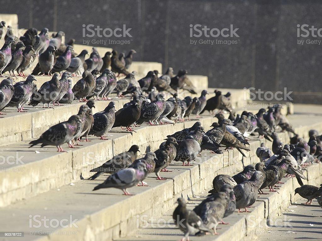 Flight of city pigeons stock photo