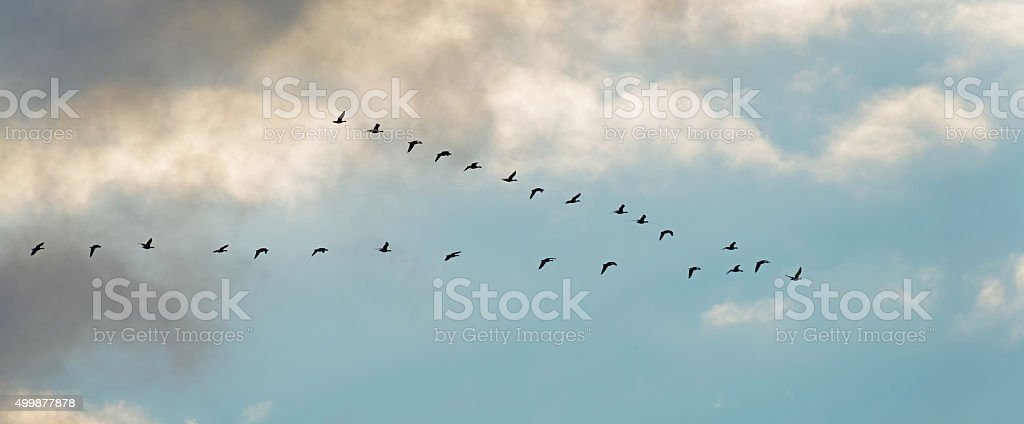 Flight of geese in winter stock photo