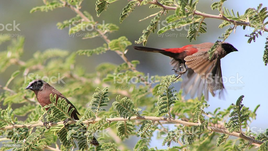 Flight of the Black-cheeked Waxbill from Africa royalty-free stock photo