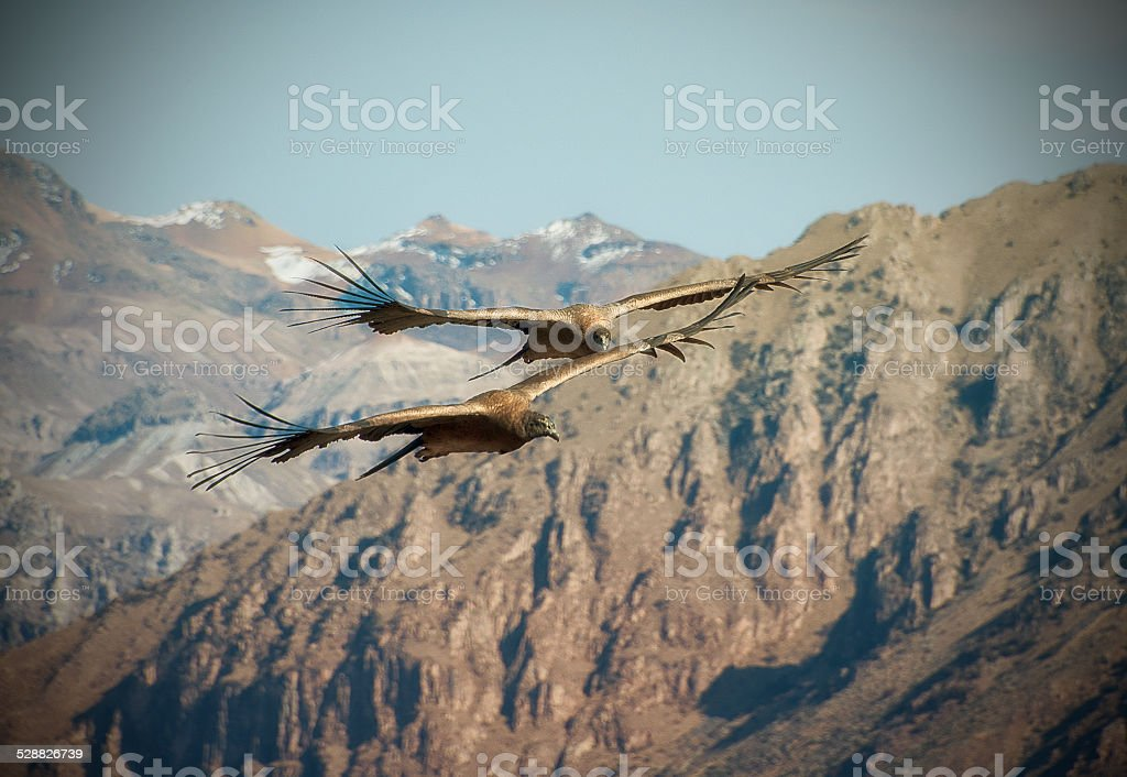 Flight of the Condor in the Peruvian Colca Canyon stock photo