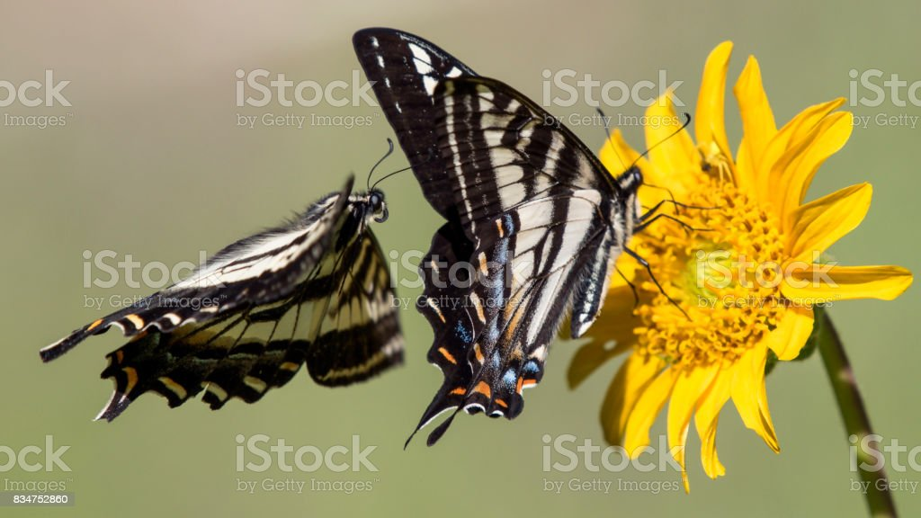 Flight of the Tiger Swallowtail stock photo