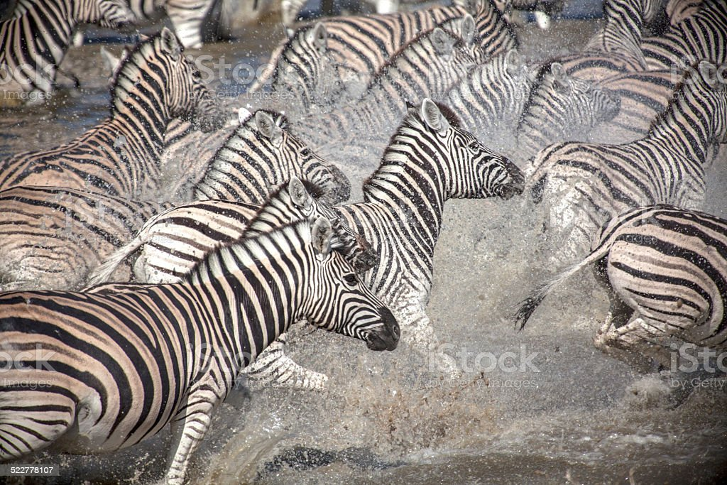flight of the Zebras stock photo