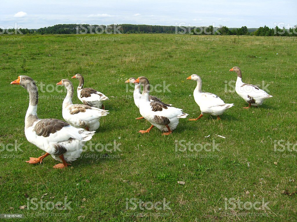 Flight of white geese on the meadow stock photo