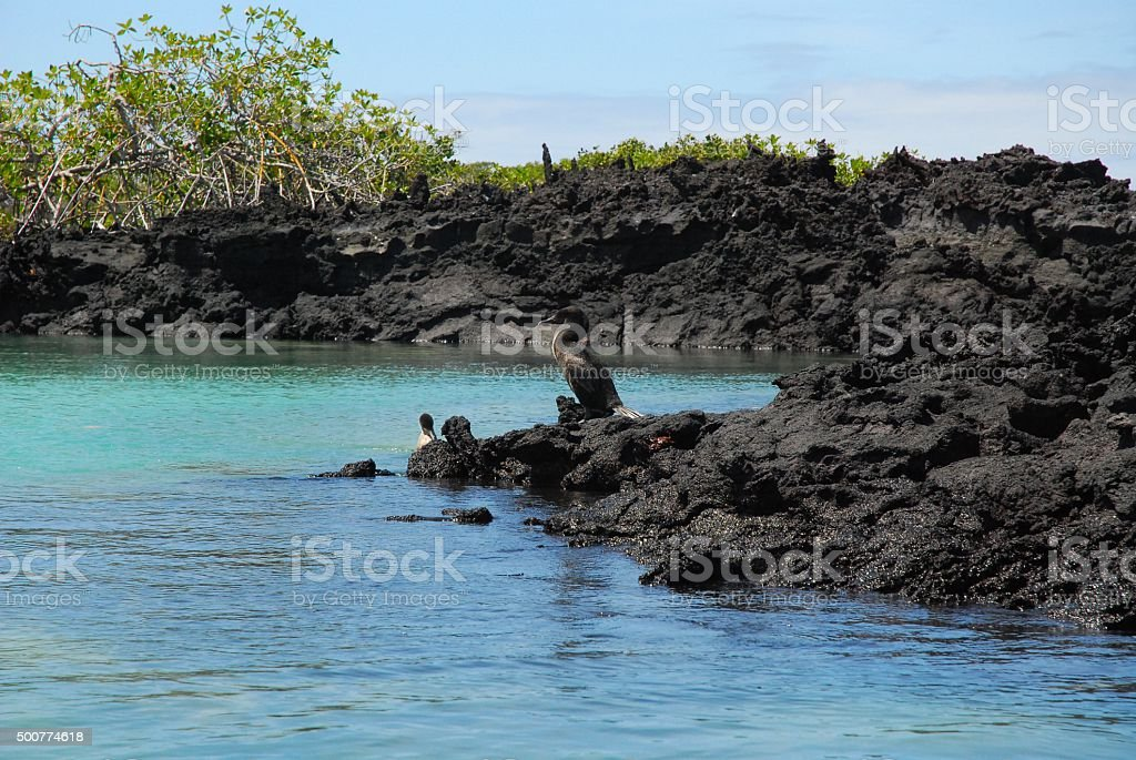 Flightless Cormorant on the Shore in the Galapagos royalty-free stock photo