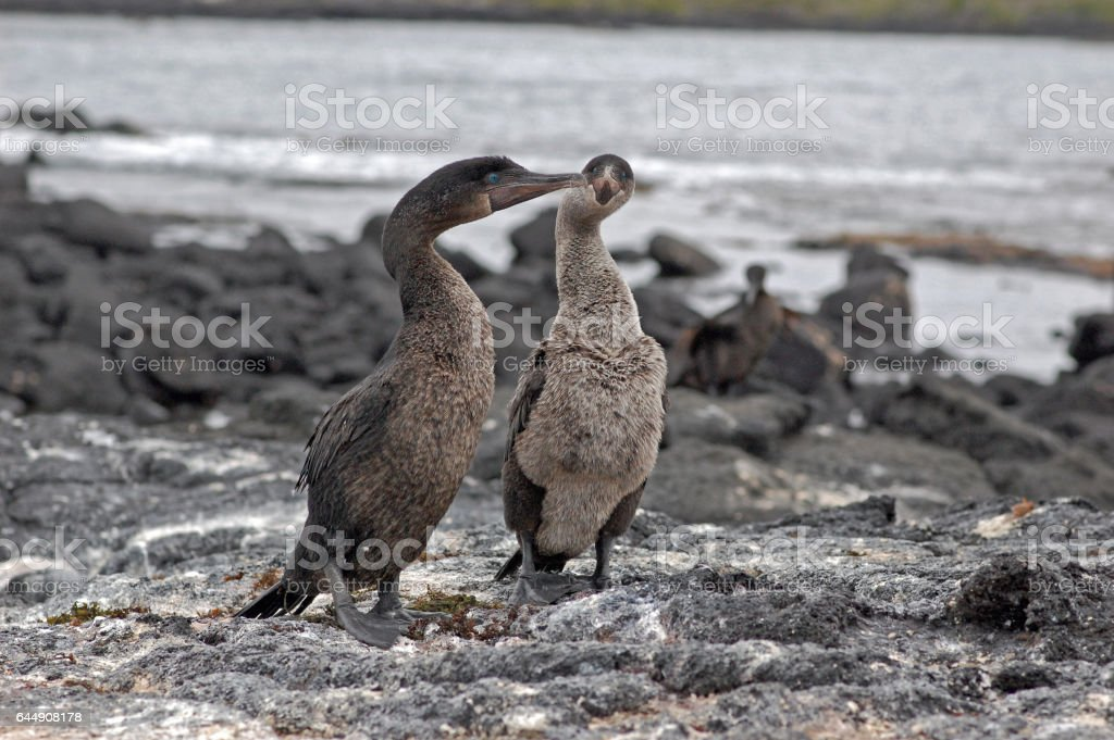flightless cormorants on a black lava beach, Galapagos stock photo