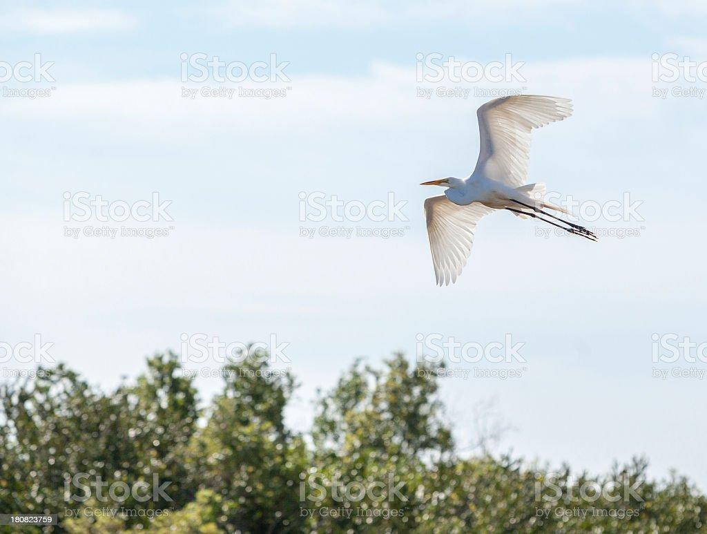 Fliyng Great white heron stock photo