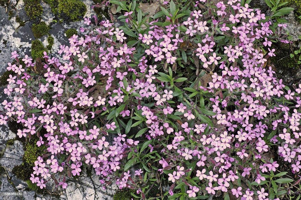 fllowers of rock soapwort stock photo