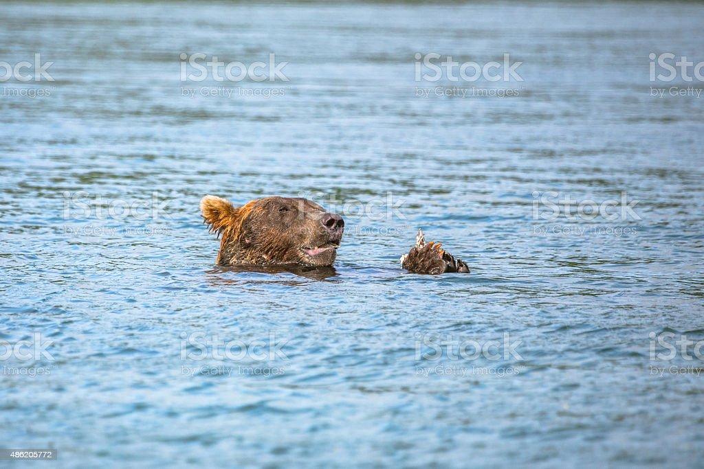 Floating Bear Eating Fish stock photo