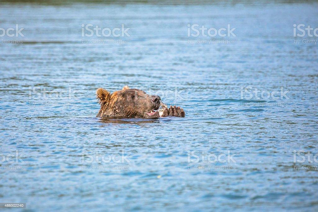Floating Bear Eating Raw Fish stock photo