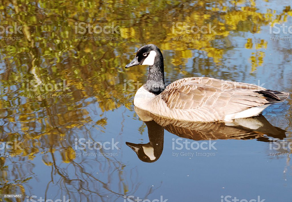 Floating Canada goose reflected in the water of the pond. stock photo