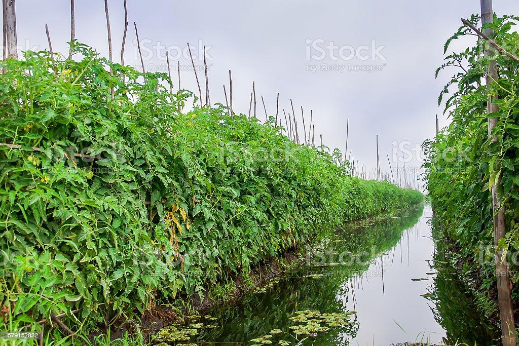 Floating farm, Inle lake, Shan state, Myanmar stock photo