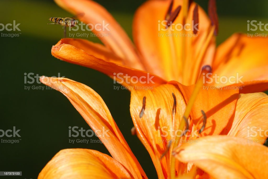 Floating fly in the approach to a fire lily stock photo