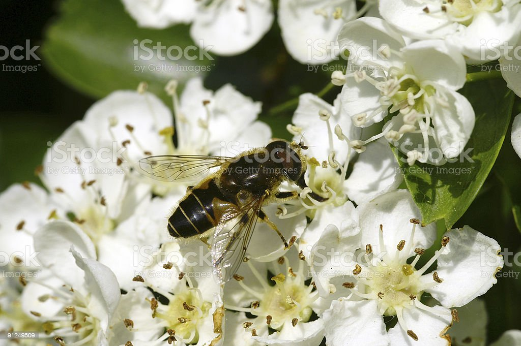 Floating fly on hawthorn flowers royalty-free stock photo