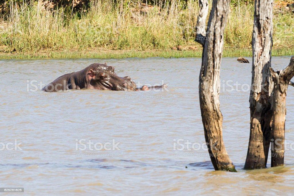 Floating Hippo Baby & Mom stock photo