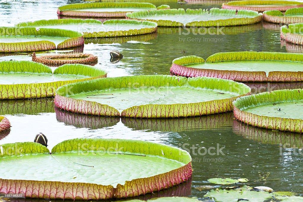 Pływający na water lily zbiór zdjęć royalty-free