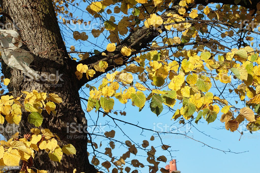Yellow autumn leaves of lime tree blue sky stock photo
