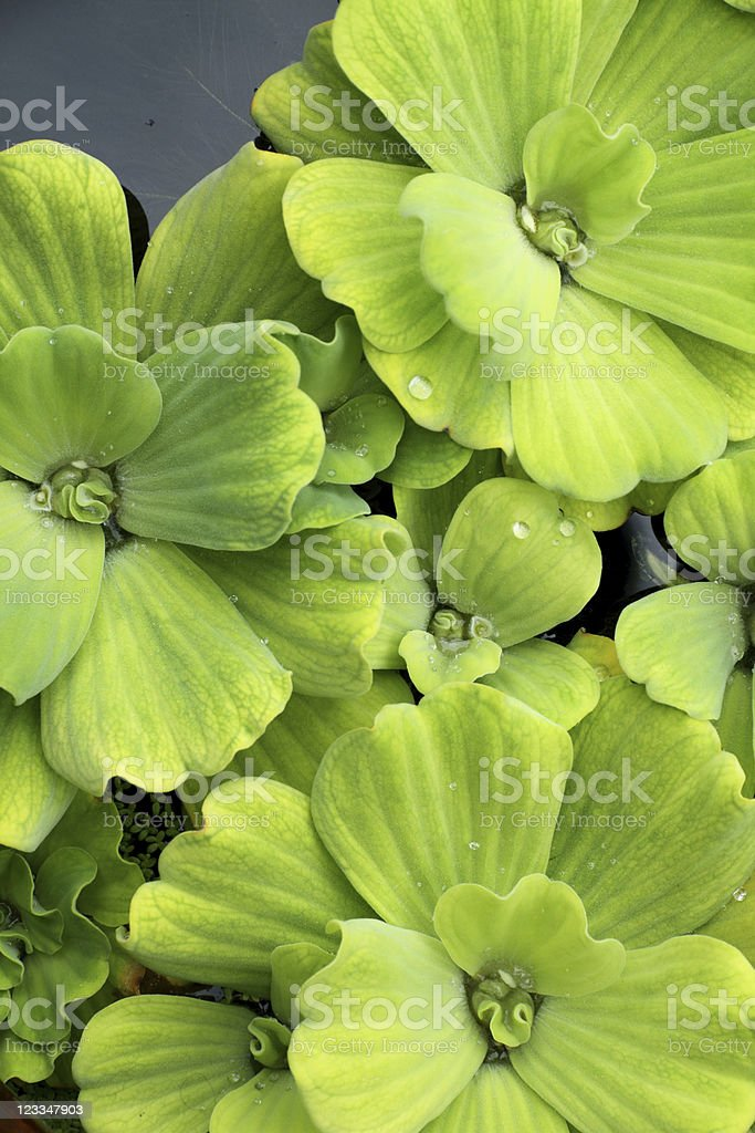 Floating plants in a pond stock photo