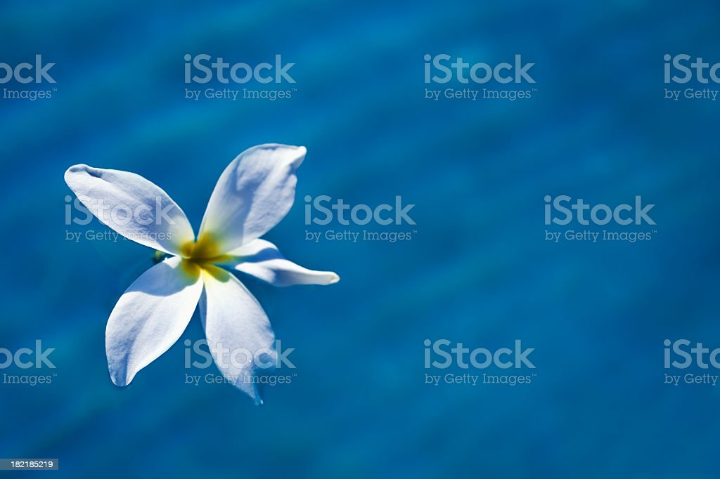 Floating Plumeria royalty-free stock photo