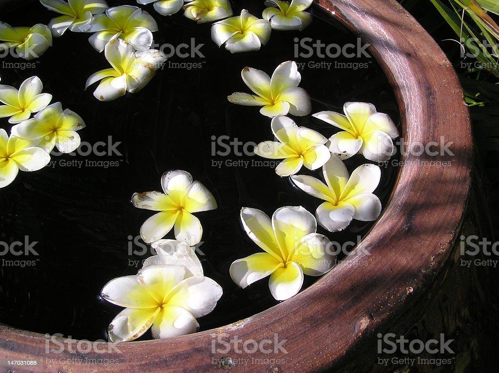 Plumerias flotante foto de stock libre de derechos