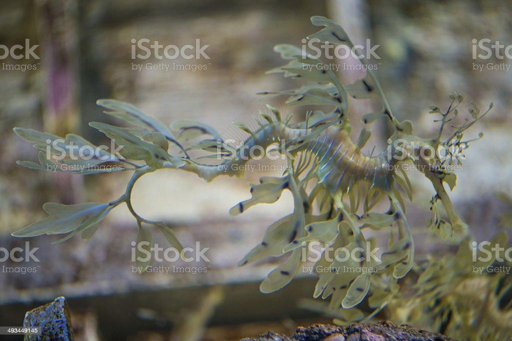 Floating sea dragon stock photo