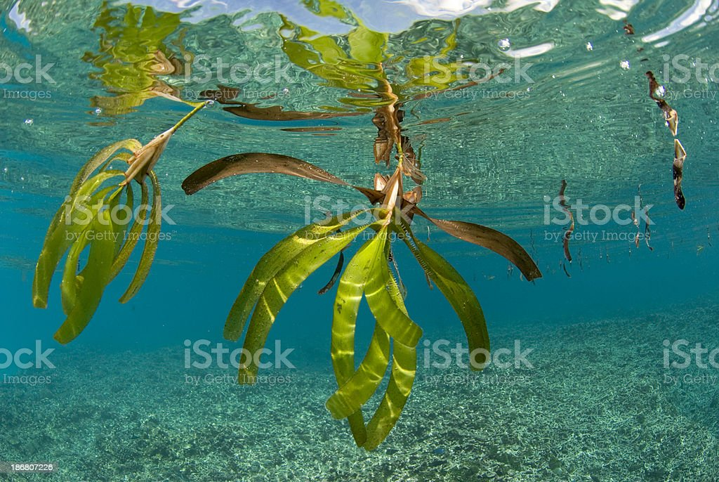 floating sea grass royalty-free stock photo