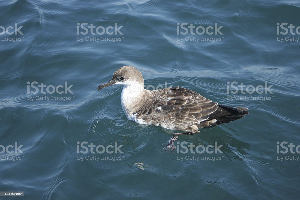 Floating Shearwater royalty-free stock photo