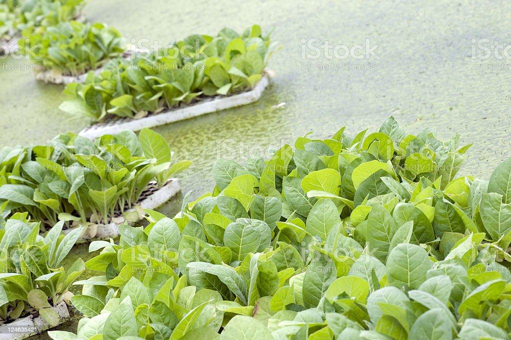 floating tobacco seedlings stock photo