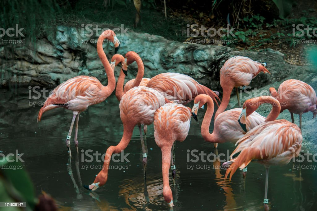 Flock American Flamingos Trinidad and Tobago royalty-free stock photo