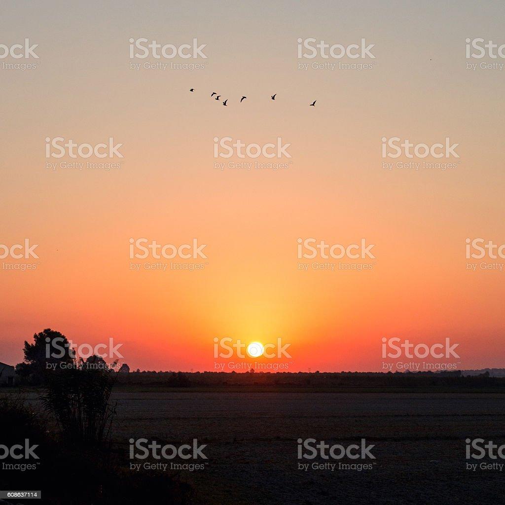 flock at dawn stock photo