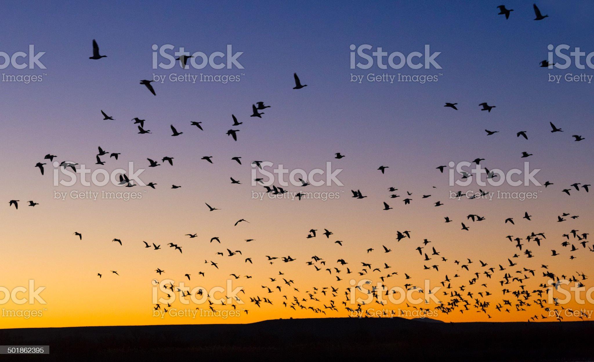 Flock at Sunrise royalty-free stock photo