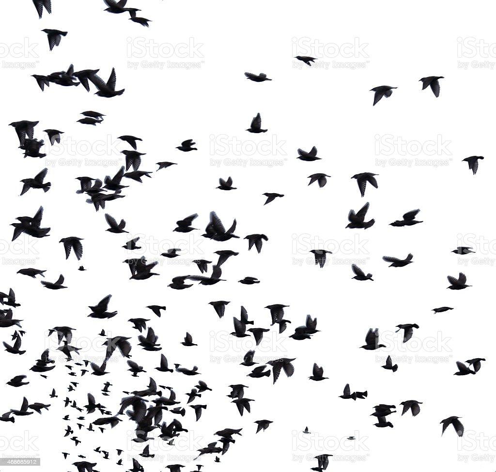 flock migratory birds. stock photo