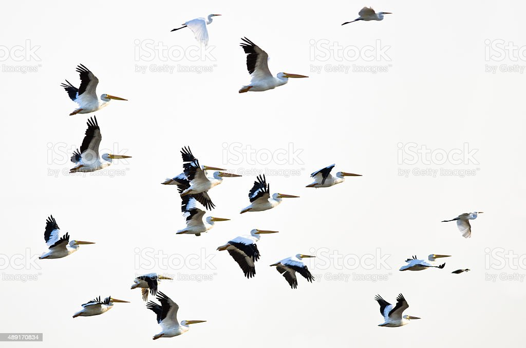 Flock of American White Pelicans Flying on a Light Background stock photo