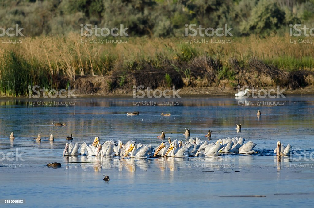 Flock of American White Pelicans Resting and Feeding in Marsh stock photo