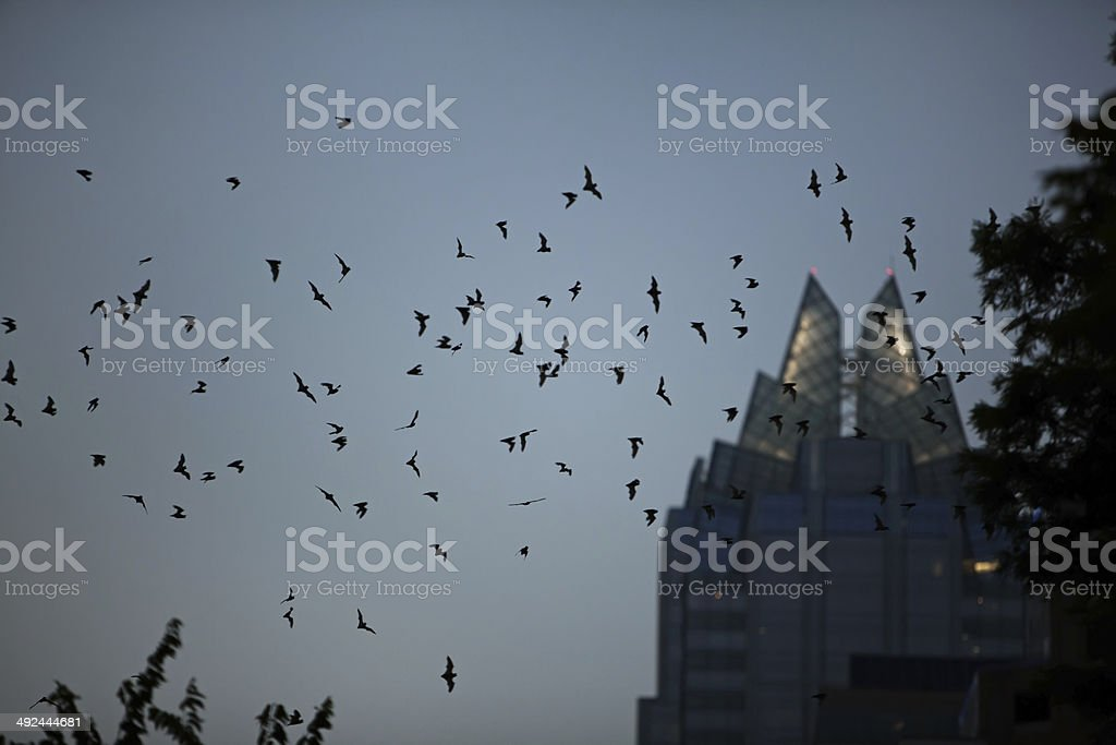 Flock of bats flying in downtown Austin,Texas stock photo