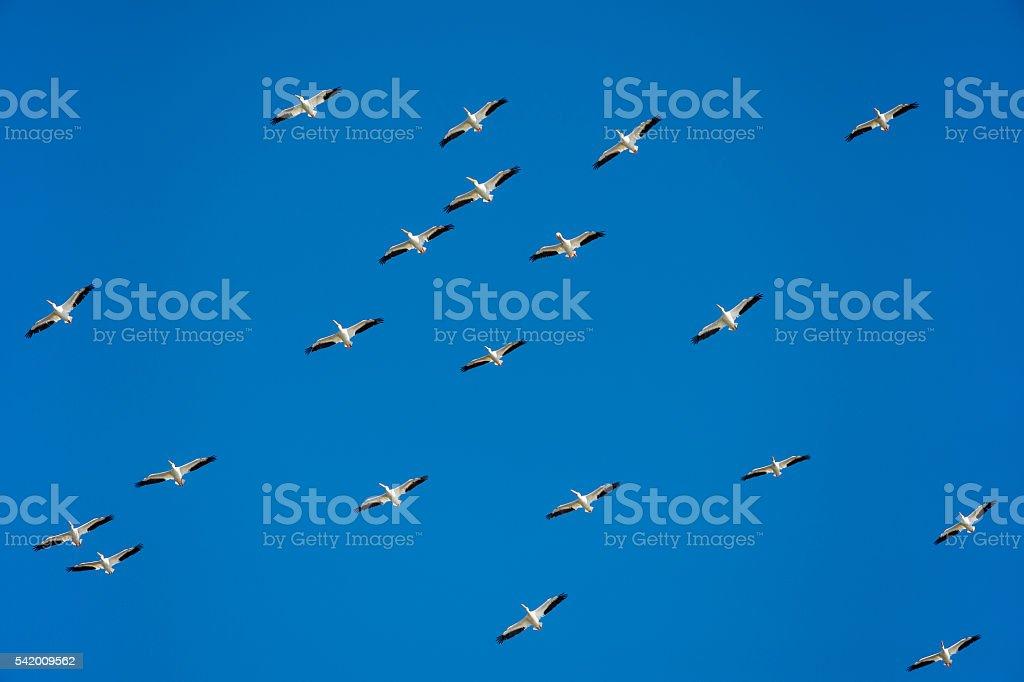 Flock of birds, american white pelican flying, blue sky, teamwork, stock photo
