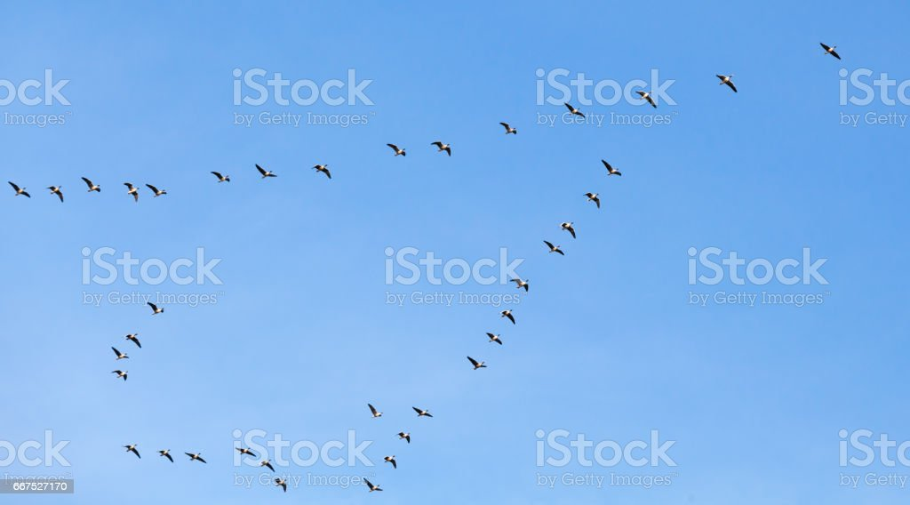 Flock of birds. Canadian geese flying in blue sky stock photo