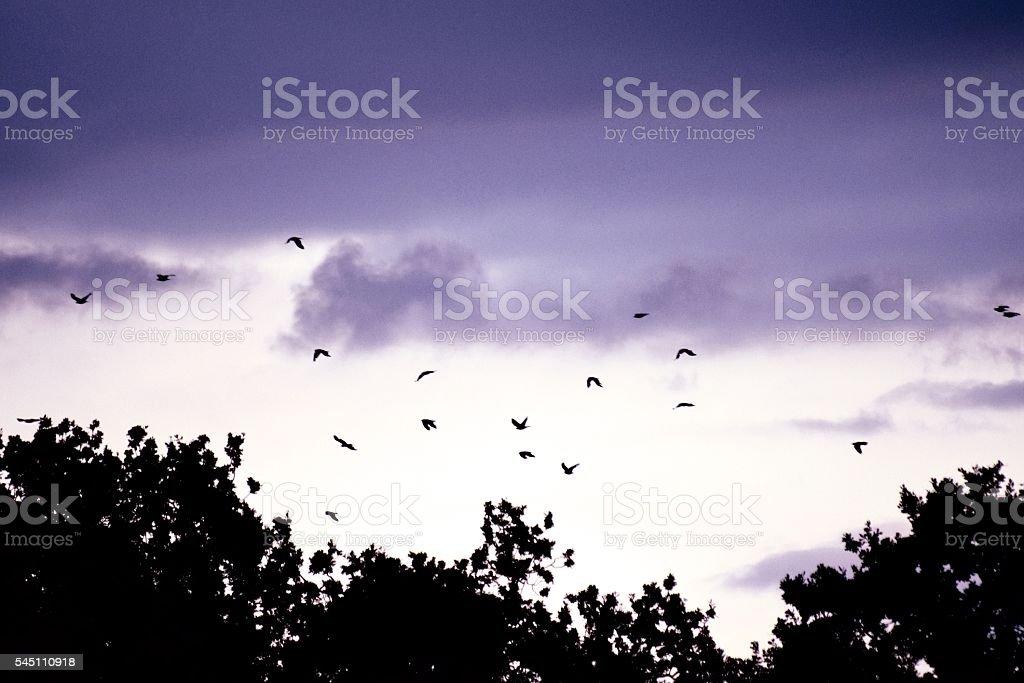flock of birds flight flying at dusk twilight evening sky stock photo
