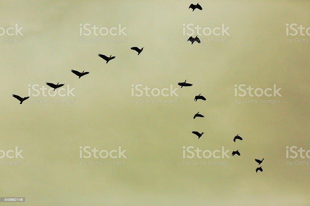 Flock of Birds flying, dramatic storm cloud sky, Pantanal Brazil stock photo